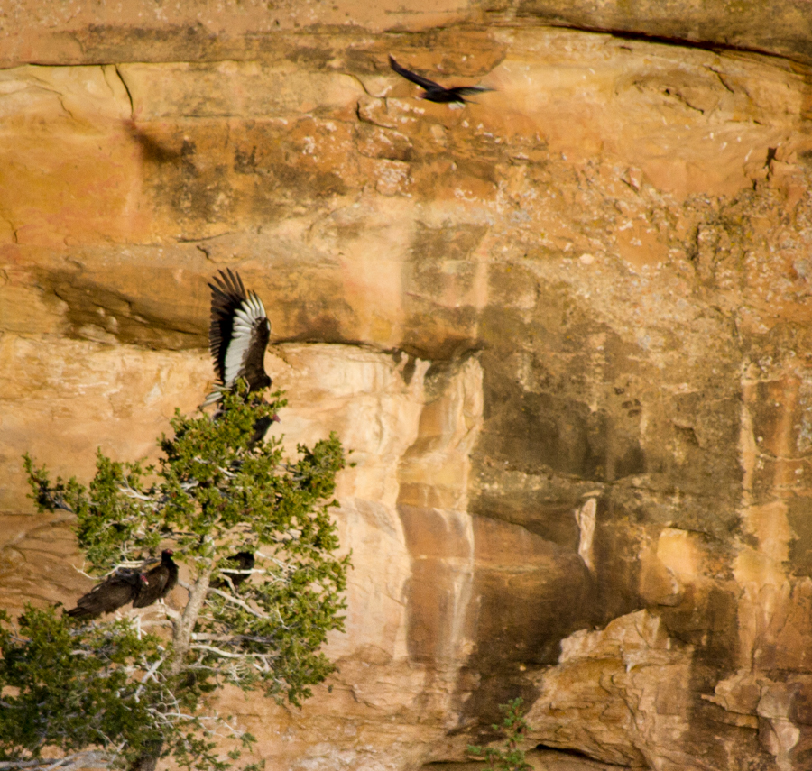 Six turkey vultures roosting at Spruce Tree House, Mesa Verde, May 2014, by John Fleck