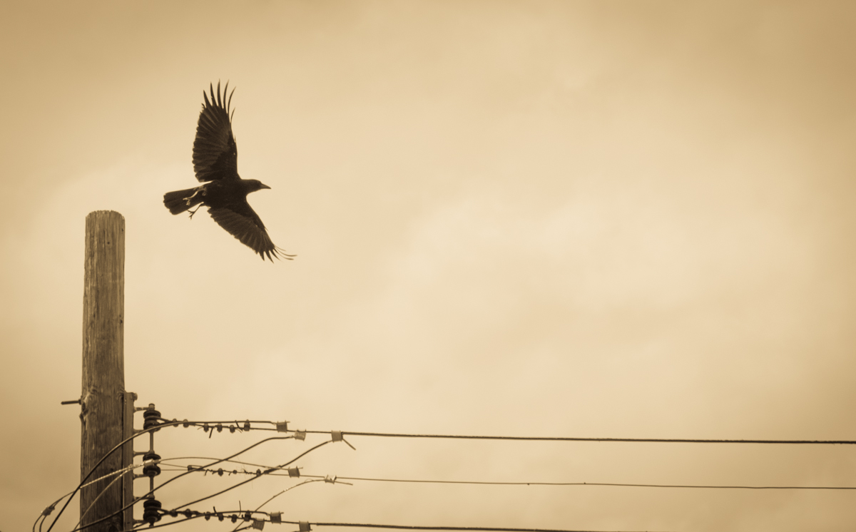 Crow taking flight from perch on telephone pole, April 2014,  by John Fleck
