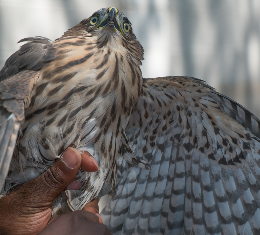juvenile Cooper's hawk being banded, Albuquerque, June 2014, by John Fleck