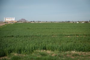 Irrigated alfalfa on the east side of the Phoenix metro area, February 2015