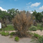 A tree hit by tamarisk beetles, Albuquerque's Rio Grande bosque, July 2015, by John Fleck