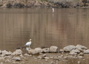 The snow goose of Willow Beach.