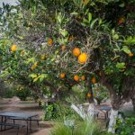 Citrus groves, Mesa Arizona