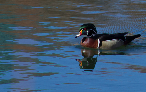 wood duck at the Albuquerque botanical garden, March 10, 2013
