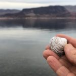 A clam, stranded by Lake Mead's decline.