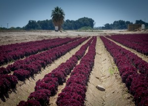 red lettuce, Yuma County Arizona