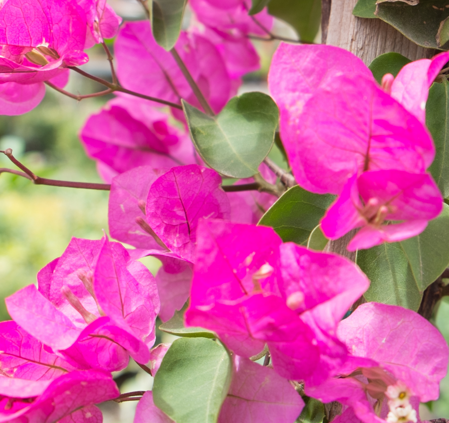 Bougainvillea, Plant World, Albuquerque, April 2014, by John Fleck