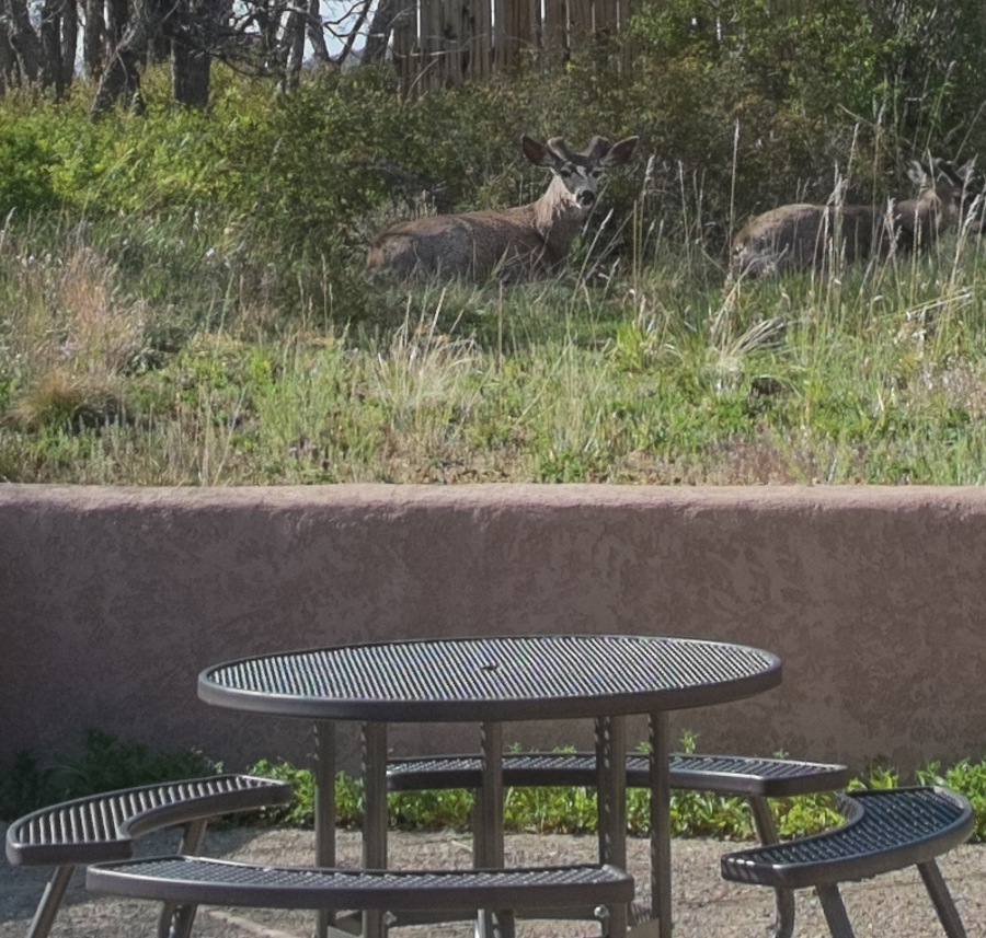 Mule deer, Far View cafeteria, Mesa Verde, May 2014