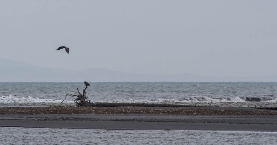 Eagles, Elwha delta, May 2013, by John Fleck