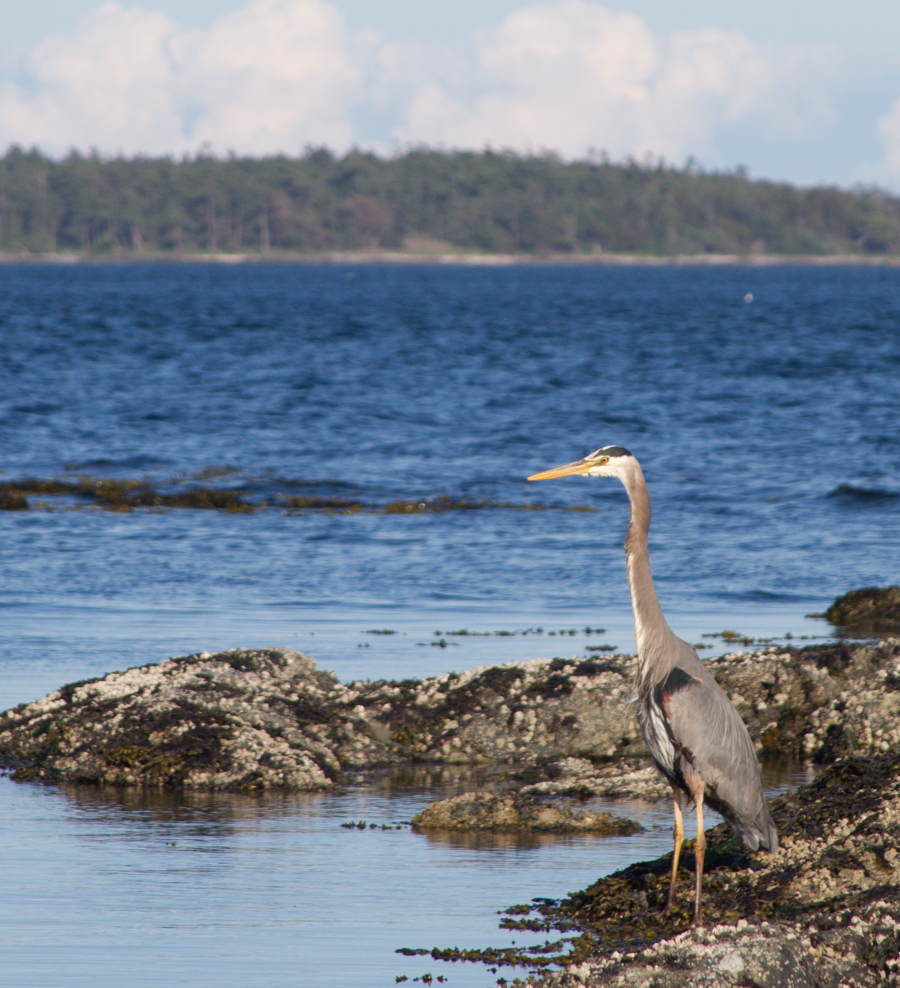 Great blue heron, Victoria BC, May 2013, by John Fleck
