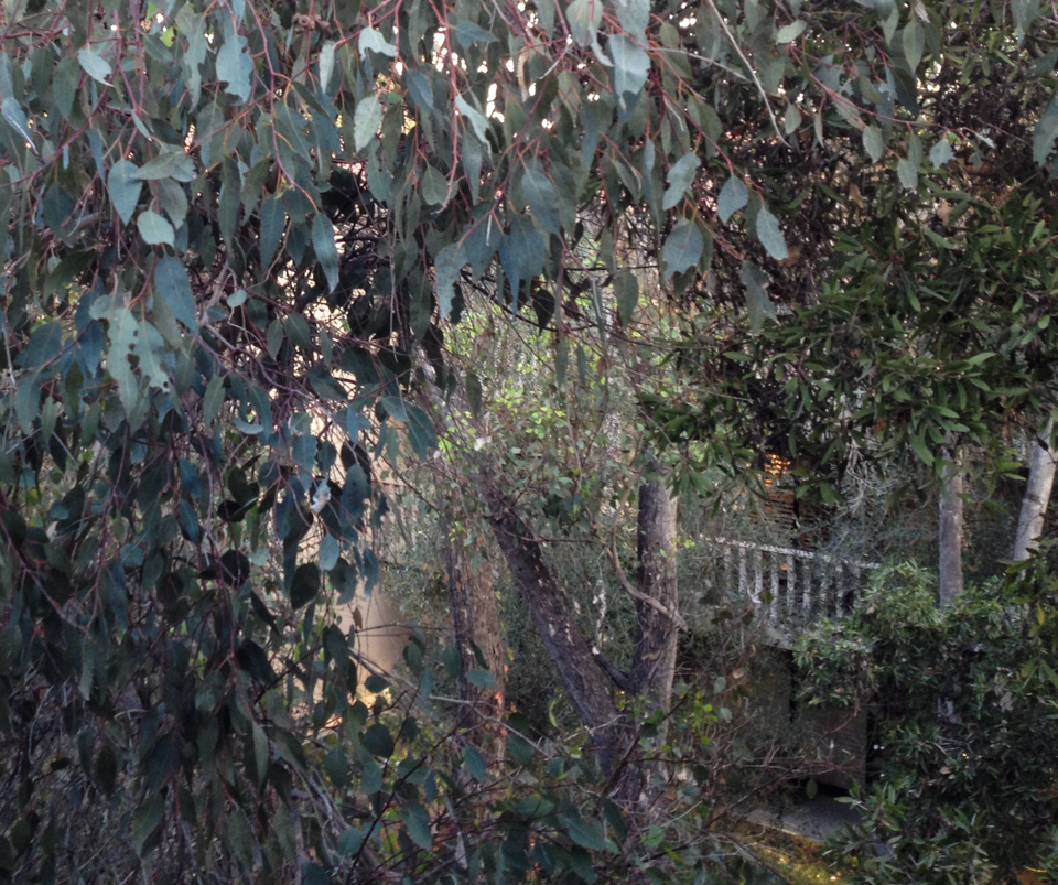 The eucalyptus outside my window, Rancho Bernardo, CA, October 2013, by John Fleck