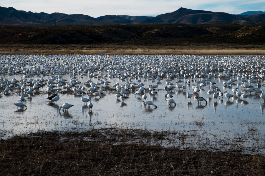 Snow geese, Bosque del Apache, New Mexico, January 2014, by John Fleck