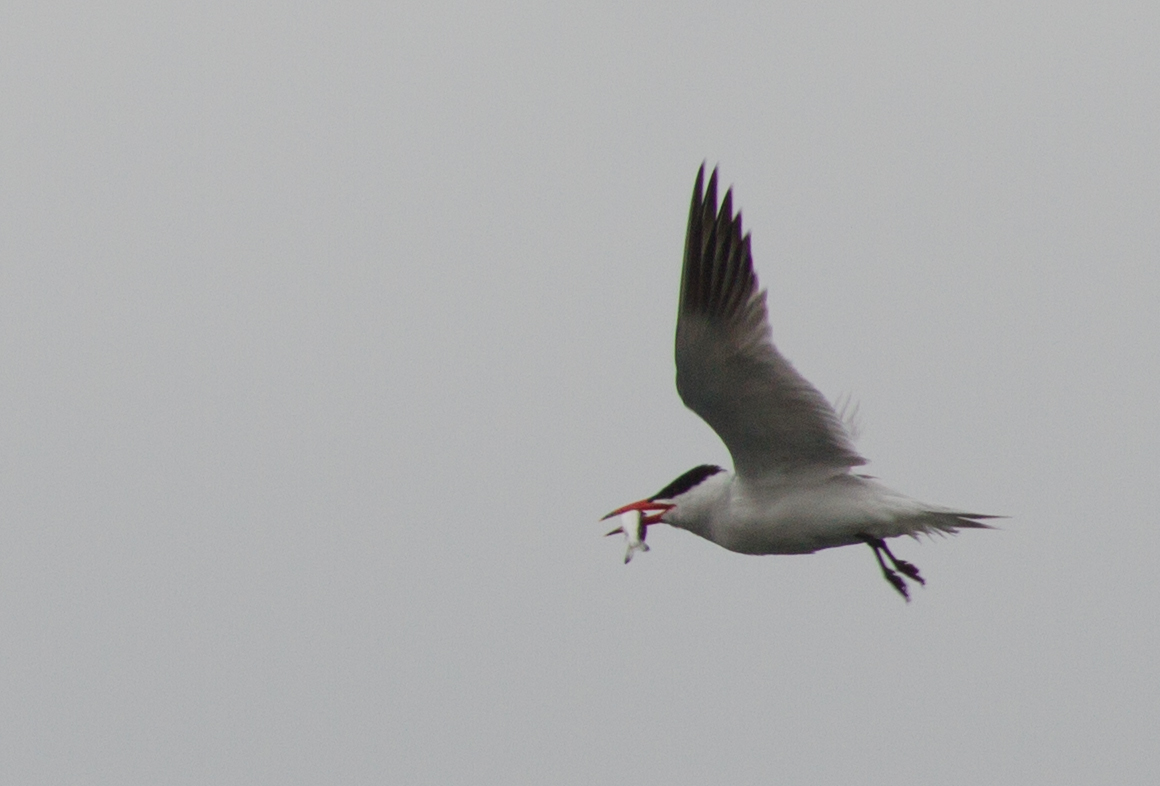 Caspian tern, Whidbey Island, May 2013, by John Fleck