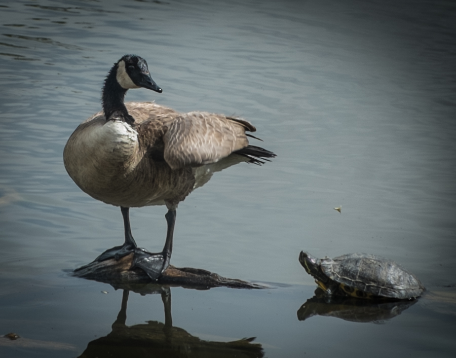 Turtle and goose, Rio Grande Nature Center, April 25, 2014